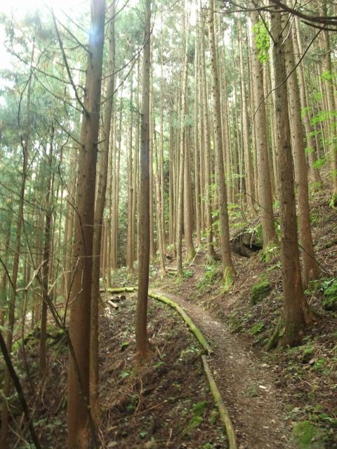 白井差登山道の杉